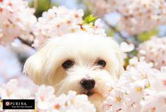 桜だワン/犬 イヌ Purina dogs  (ネスレ日本)