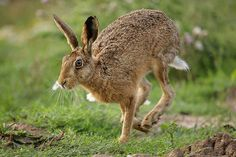 Hares of the World Jack Rabbit, Bunny Rabbit, Photo Reference, Art Reference, Hare Pictures, Prey Animals, Cute Baby Animals, Pet Birds, Squirrel