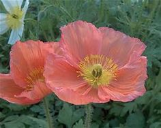 Iceland Poppy - Bing Images