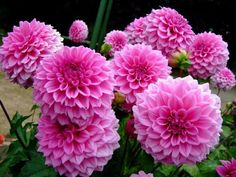 My Flower, Flower Power, Dahlia Flowers, Pink Perennials, Farmhouse Garden, Summer Plants, Flower Decorations, Garden Art, Indoor Plants
