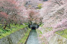 Photograph Sakura Tunnel by Takahiro Bessho on 500px