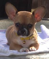 Image result for bulldog chihuahua mix