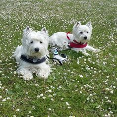 Two Cute West Highland Terrier Dogs resting on their morning walk