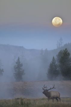 Bull Elk, Full Moon, Yellowstone