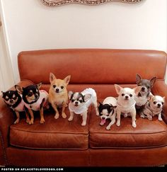 Just a cute group of a few adorable Chihuahuas hanging  out on the sofa.