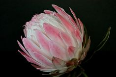 Protea ....... in sugar ..... | ..... I have just attempted … | Flickr