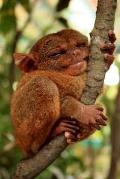 """if your happy and you know it hug a tree . I'm a tarsier ! The Philippine Tarsier has been called """"the world's smallest monkey"""" or """"smallest primate"""" by locals before. However, the Philippine Tarsier is neither a monkey nor the smallest primate. Cute Baby Animals, Animals And Pets, Funny Animals, Crazy Animals, Happy Animals, Smiling Animals, Wild Animals, Beautiful Creatures, Animals Beautiful"""