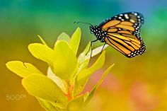"Butterfly - <a title=""https://www.facebook.com/RicardoAlvesPhotography"" href=""https://www.facebook.com/RicardoAlvesPhotography"">https://www.facebook.com/RicardoAlvesPhotography</a>"