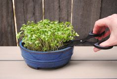 We all know fresh is best but we don't all have room to grow our own veggie patch. Micro-greens are a great alternative and it's easy to get your little indoor garden established. Sprouting Seeds, Planting Seeds, Seed Raising, Vegetables For Babies, Growing Microgreens, Veggie Patch, Organic Seeds, Room To Grow, Growing Seeds