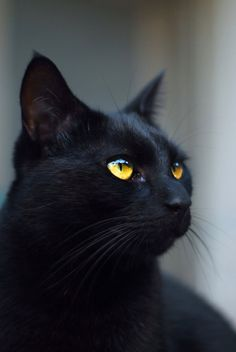 [] Black cat close-up 2   by Very-Free-Stock