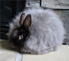 Chocolate Satin Angora Rabbit