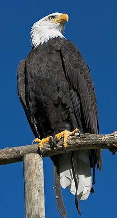 Represents The United States Of America - The Beautiful Bald Eagle ! ♥ 3e - Afrikaanse Zeearend (Haliaeetus Vocifer) (1)