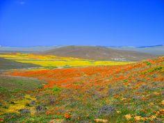 Cada primavera, las praderas del área occidental del desierto de Mojave cobran vida en un súbita explosión de colores, donde millares de flores silvestres tapizan el valle de la reserva natural de las #amapolas, en la zona oeste de #Antelope #Valley, en el estado de #California. La duración y la intensidad de sus colores y aromas varían cada año dependiendo de las precipitaciones lluviosas de la estación, concibiendo un increíble espectáculo de floración.