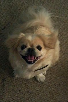 I miss my Pekingese - I love and miss you Gizimoto. Wait by the rainbow bridge for me. Pekingese Puppies, Baby Puppies, Cute Puppies, Cute Dogs, Dogs And Puppies, Doggies, Fu Dog, Dog Cat, Baby Animals