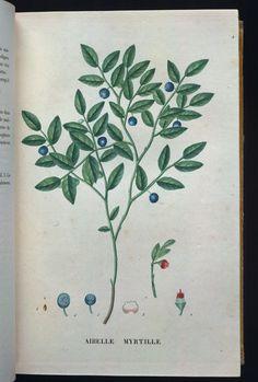 blueberry - vintage botanical print