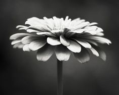 Black and White Photography - floral photography flower photograph monochromatic black white wall art print nature photo - 8x10 Photograph. $30.00, via Etsy.