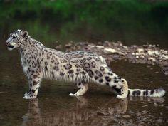 Snow Leopard of Afghanistan - Big Cat Week Gallery - Nat Geo WILD