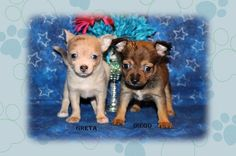 """Fairytailpuppies """"where pets are family too - DIEGO"""