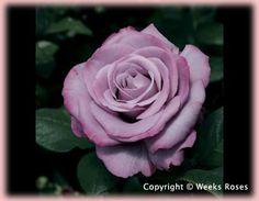 Devine fragrance!!! Rosa Hybrid Tea (Neptune)-via Regan Nursery...Neptune Rose...a fragrant addition to your garden.