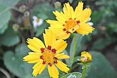 lumiukon mietteitä, puutarhassa kukkii syyshohdekukka