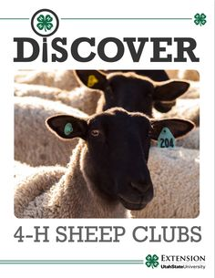 Discover 4-H Sheep Club - I helped write this curriculum!