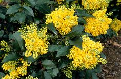 Find help & information on Mahonia aquifolium 'Apollo' Oregon grape 'Apollo' from the RHS Plants That Love Shade, Dry Shade Plants, Garden Shrubs, Shade Garden, Garden Plants, Indoor Plants, Small Evergreen Shrubs, Oregon Grape, Woodland Garden