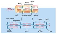 Sarcomere    Z disc - a line that separates one sarcomere from another  M line - central line of the sarcomere where myosin filaments are anchored  H zone - the area where only myosin filaments are present   I band - the area where only actin filaments are present  A band -  includes overlapping myosin and actin filaments