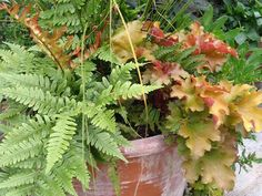 Copper-colored and dark green, the fronds of the autumn fern (left) complement the orange-pink leaves of coral bells (right) and green sedge
