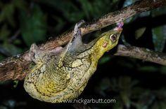 Sunda Colugo  or Sunda Flying Lemur feeding