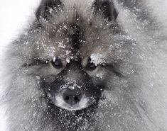 Keeshond. Awesome dogs! Had one as a kid named Kelvey (who the hell knows where that came from, I was 4). Super sweet & scary smart. If only they'd hunt birds, I'd look at getting one again.