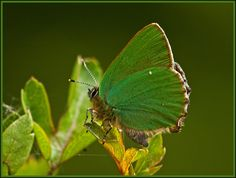 UNUSUAL BUTTERFLIES | Green Hairstreak butterfly. | Flickr - Photo Sharing!