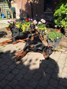 The Doberman Pinscher is among the most popular breed of dogs in the world. Known for its intelligence and loyalty, the Pinscher is both a police- favorite I Love Dogs, Cute Dogs, Black And Tan Terrier, Doberman Love, Doberman Pinscher Dog, Beautiful Dogs, Dog Life, Dogs And Puppies, Doggies