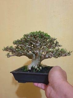 Bonsai Plants, Bonsai Garden, Mame Bonsai, Bonsai Styles, How To Dry Basil, Greenery, Copper, Trees, Gardening