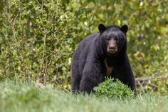 Black bear looking alert