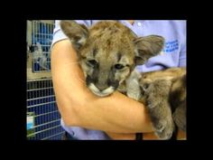 Watch this Endangered Panther Kitten Speaking up! Yes, there is an Endangered Species Day and the Florida Panther is endangered.For a kitten, she is cute
