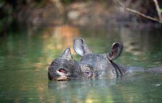 Neue Fotos vom seltensten Nashorn der Welt_Java-Nashorn © 2015 Stephen Belcher Photography / All Rights Reserved
