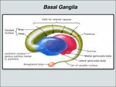 Basal Ganglia - Putamen