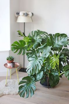 Mes Plantes // Monstera Deliciosa – Mango and Salt