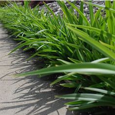 Dianella revoluta DR2006  Petite Marie  has nodding star shaped pale blue to white flowers in spring and summer, that are fol...