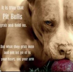 Pit bulls grab hold of your heart #pitbull