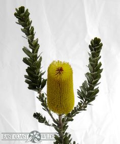BANKSIA PRAEMORSA yellow - available Feb-Mar, Aug-Oct. Lovely in a bouquet, arrangement or for event floristry. Australian Native Garden, Australian Native Flowers, Australian Plants, Flowers For Men, July Flowers, Australian Wildflowers, Native Australians, Gift Bouquet, Australia Day