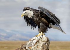 Photograph BALD EAGLE by Sabry Mason on 500px