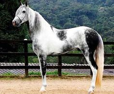 This is the stallion I told you about. He is a TN Walker and is just absolutely gorgeous. I am so happy that they\'re coming today. His name is Snowstorm and the filly\'s is Starlight.