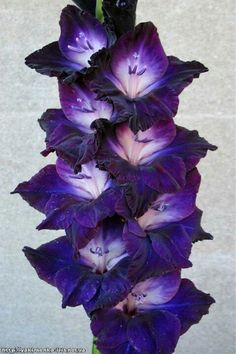 Black Flowers, Exotic Flowers, Beautiful Flowers, Gladiolus Bulbs, Gladiolus Flower, Summer Plants, Summer Flowers, Planting Bulbs, Planting Flowers