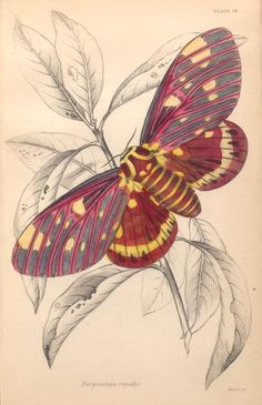 Dorycampa regalis. From New York Public Library Digital Collections.