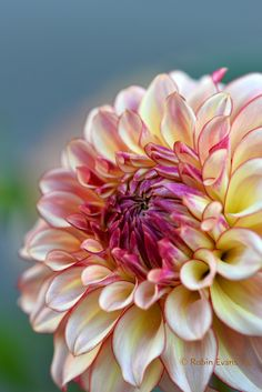 Robin Evans / 'Alpen Sundown' Dahlia - A creamy yellow with purple highlights! Great stems, lots of blooms. An excellent cut flower. Exotic Flowers, Amazing Flowers, My Flower, Beautiful Flowers, Beautiful Gorgeous, Purple Highlights, Belleza Natural, Garden Plants, Tree Garden