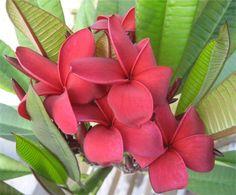 Magnolia japonica reproduccion asexual en