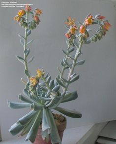 """Echeveria """"Topsy Turvy"""", Echeveria runyonii, First time this one has bloomed for me."""