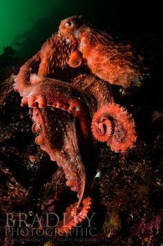 Giant Pacific Octopus. Photo by Jason Bradley (http://www.bradleyphotographic.com/). Cjasonbradley_120901_1326