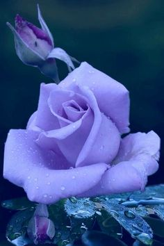 Beautiful Rose Flowers, Exotic Flowers, Pretty Flowers, Lavender Roses, Purple Flowers, Rose Flower Tattoos, Amazing Nature Photos, Rare Roses, Types Of Roses